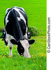 Friesian Milking Cow - Friesian Cow grazing on buttercup...