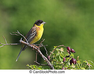 Black-headed Bunting, Emberiza melanocephala
