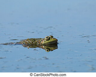 Marsh Frog, Rana ridibunda
