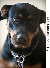 Rottweiler dog - cute black Rottweiler dog in the apartment