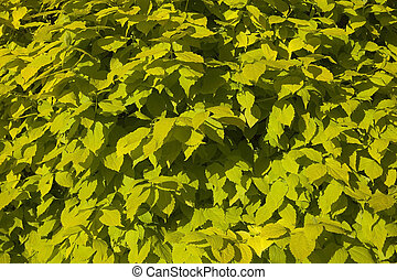 philadelphus aurea background leaves - nature background...
