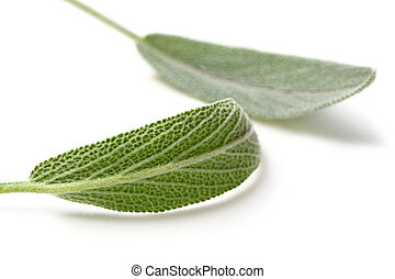 Sage - Fresh sage leaves, casting shadow on white Focus on...