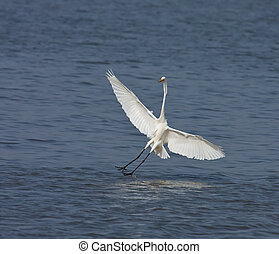 Great White Egret landing - Great White Egret coming in to...