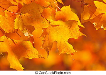 Fall maple leaves - Red and orange fall maple tree leaves