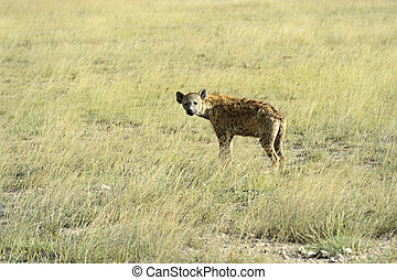 Hyenas - African hyenas in Amboseli National Park . Kenya