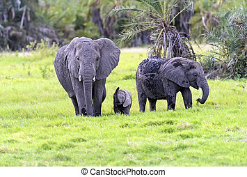 African elephants in Amboseli National Park . Kenya