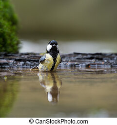 Great tit in water