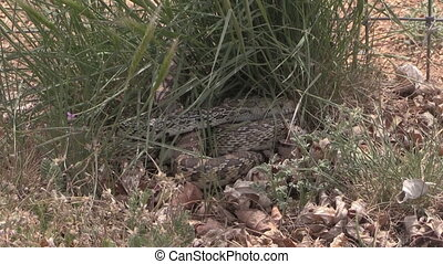 Bull Snake Coiled Zoom In - a zoom in on a coiled bull snake...