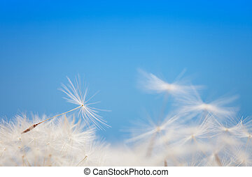 Dandelion fluff on a blue background