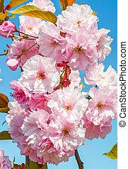 Sakura flowers on blue sky