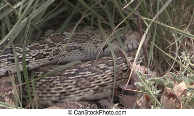 Bull snake in Grass Zoom Out - a zoom out of a bull snake...