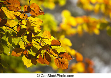 Autumn Leaves - Autumn leaves backlit by sunlight Lovely...