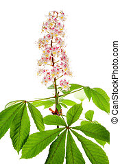 chestnut flower and leaf on white background