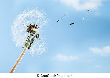 Wind - macro shot of a dandelion over a blue sky with wind...