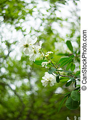 Spring time garden blooming of Jasmine plant