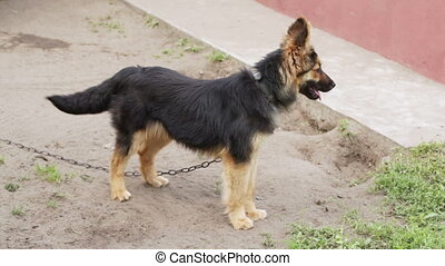 Young Shepherd Dog - Dog on a chain barks, escapes and...