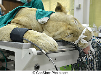 Veterinarian performing an operation on a lion