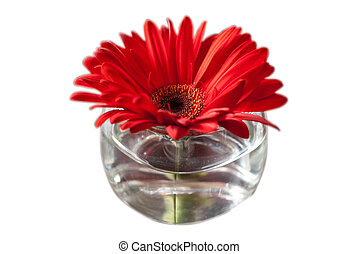 Red flower in a glass vase on isolated background