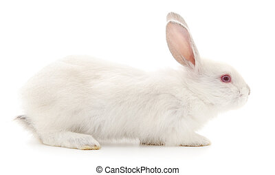 Rabbit - Isolated image of a white bunny rabbit.