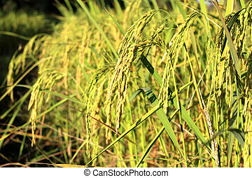 green rice plant during flowering