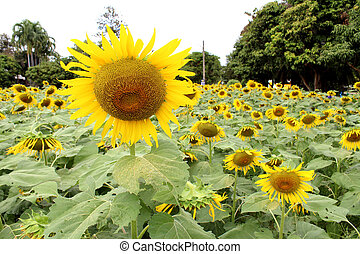 sun flowers field, sunflowers