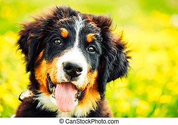 Bernese Mountain Dog Berner Sennenhund Puppy Sitting In...
