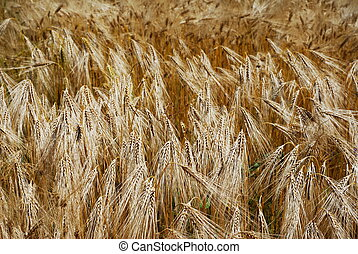 Golden wheat heads in a fiels