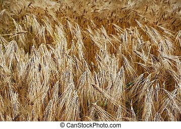 Golden wheat heads in a fiels