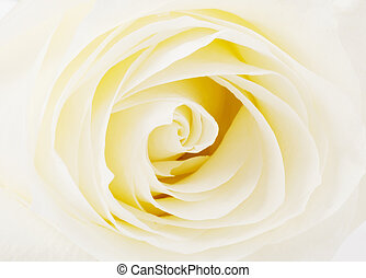 White rose close up view - White rose head close up view