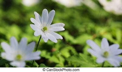 white flowers anemones in spring wood