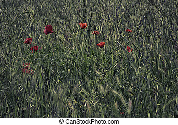 Red poppies on green field with flowers