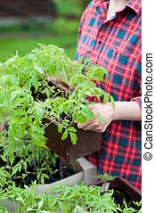 Tomato seedlings - Woman holding crate with tomato seedlings