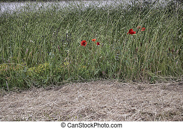 Red poppy on green field with flowers
