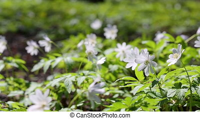 white flowers anemones in spring wood - slider dolly shot
