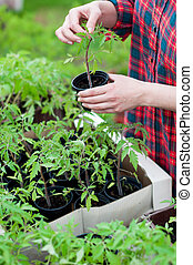 Woman holding tomato seedling - Woman holding young tomato...