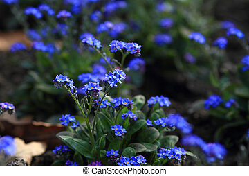 Beautiful flower - Nice photo of blooming small blue flowers