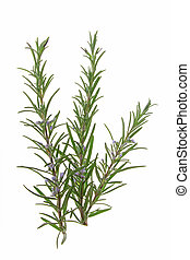 Rosemary (Rosmarinus officinalis) - Blossoming branch of...