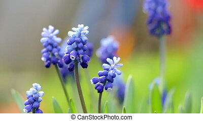 Blue hyacinth flowers close up