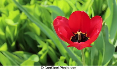 Red tulip flower close up