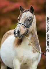 Foal, Shetland pony. - Foal, portrait of Shetland pony.