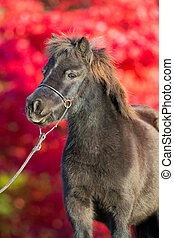 Brown Shetland pony on red background, portrait