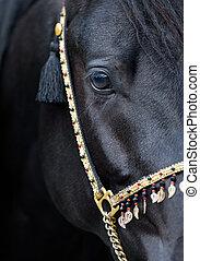 Black horse eye - Black Arabian horse eye
