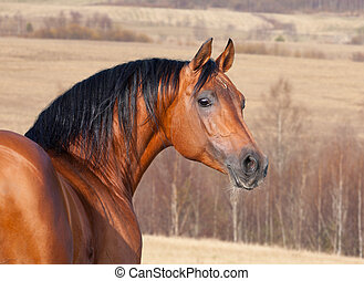 Chestnut horse head, autumn backgro - Chestnut Arabian horse...