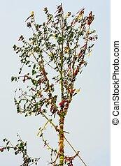 May pole tree