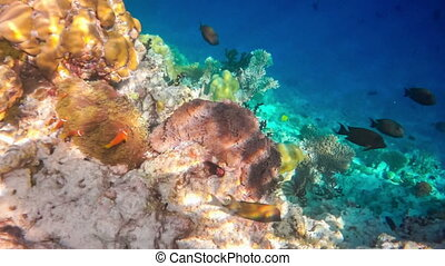 Anemonefish - Topical saltwater fish ,clownfish - Coral reef...