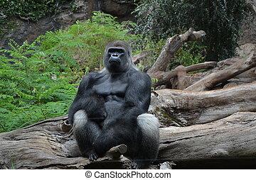 Gorilla in Loro park in Tenerife Spain