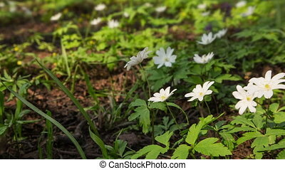 white flowers anemones and flying bee in spring wood -...