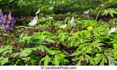 white flowers anemones in spring wood - slider dolly shot in...