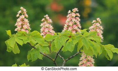blooming chestnut a