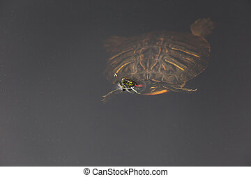 Red Eared Slider Turtle, - a Red Eared Slider Turtle